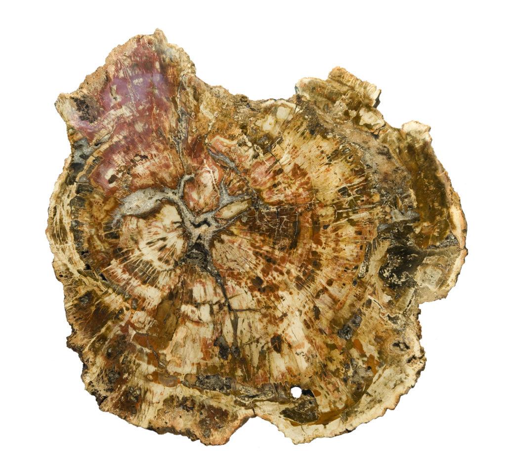 tranche de bois fossile brute